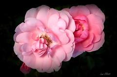 Rosa Bonica (Lani Elliott) Tags: flowers rose rosa rosabonica bonica pretty pinkrose pinkflowers nature naturephotography blackbackground light bright colour colourful petals garden homegarden macro bokeh upclose closeup macrounlimited lanisgarden lanisflowers lanielliott