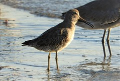 Help me identify this... Sandpiper? (Ruby 2417) Tags: shorebird peep sandpiper bird wildlife nature question mystery identification unidentified beak san diego mission bay mud flat beach shore coast