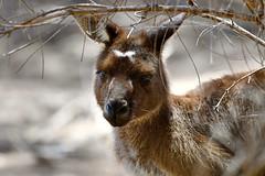 Tammar Wallaby (cirdantravels (Fons Buts)) Tags: cirdantravels fonsbuts australia australianwildlife wildlifephotography naturalhabitat natur natuur nature wildanimal ngc