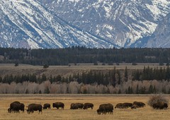 IMG_2300 where the buffalo roam (starc283) Tags: starc283 flickr flicker