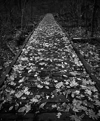 Warren Dunes Boardwalk (mswan777) Tags: tree wood forest outdoor boardwalk leaf autumn fall bridgman michigan quiet scenic apple iphone iphoneography mobile monochrome black white ansel wet