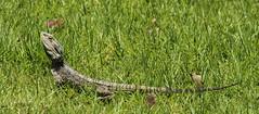 The Poser (blackcatcraft) Tags: beardeddragon lizard poser
