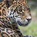 Profile of the jaguaress