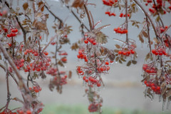 Ice storm beauty (SusieMSB7) Tags: dripping outdoors ash tree berries storm ice nature