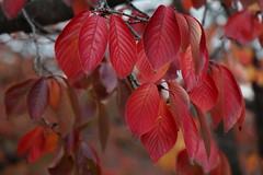 秋真っ盛りSweet autumn (eyawlk60) Tags: 桜 秋 冬 winter autumn leaf osaka sweet sakura