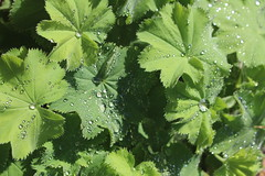 Water Droplets on Lady's Mantle Leaves, Cambridge, 29th August 2019 (6) (Phil Masters) Tags: waterdroplets ladysmantleleaves cambridge 29thaugust alchemillamollis ladysmantle foliage droplets cambridgeshire august2019 gardens