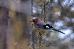 Eurasian Jay in the early spring (Gilles B. Photographe) Tags: jay france natural color nature wing beige brown background animal wildlifephotography feather wild eurasianjay bird outdoors environment white single stump wings eurasian winter wood closeup european beak tree outdoor plumage garrulus photography perched garden nice blue colorful wildlife beautiful glandarius forest garrulusglandarius beauty fauna animals eye branches europe branch
