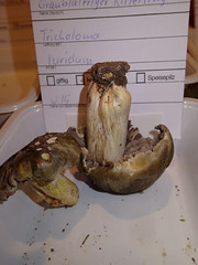 Tricholoma luridum / Graublättriger Ritterling