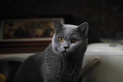 Antonio (Сonstantine) Tags: animals antonio canon catslife catsoftheworld catscatscats cats meowmeow meow meowbox british britishcats cute cutecat photo pic portrait