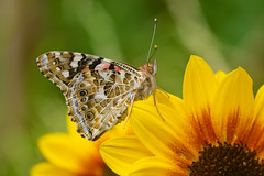 Painted Lady (Vanessa cardui) (Andrew Cooper Photography) Tags: paintedlady butterfly beautiful flower floral yellow orange invertebrate macro wildlife