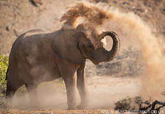 Dust Bath (Alastair Marsh Photography) Tags: elephants elephant africanelephant africanelephants desert adapt desertadaptedelephant desertadaptedelephants desertadapted hoanib hoanibvalley hoanibriver river riverbed dry sand oasis skeletoncoast namibia africa africanwildlife africanmammal africanmammals southernafrica anatree anatrees wilderness wildlife animal animals animalsintheirlandscape mammal mammals remote nature photography wildlifephotography