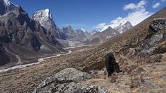 Yack sauvage en direction de l'Everest (Sam Photos - Sony full frame) Tags: vallée khumbu ama dablam népal nepal everest montagne himalaya trek randonnée altitude neige automne autumn camp base