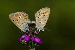 Polyommatus icarus mating (3) (JoseDelgar) Tags: mariposa insecto polyommatusicarus 425869998727642 josedelgar naturethroughthelens alittlebeauty