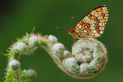 Melitaea deione (17) (JoseDelgar) Tags: insecto mariposa melitaeadeione 425866918732997 josedelgar coth naturethroughthelens coth5