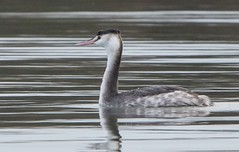 Great Crested Grebe Podiceps cristatus (Winter Plumage) (Barbara Evans 7) Tags: great crested grebe podiceps cristatus in winter plumage west wittering south east coast uk barbara evans7