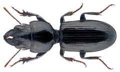 Distichus planus (Bonelli, 1813) (urjsa) Tags: coleoptera käfer beetle insect carabidae taxonomy:family=carabidae taxonomy:genus=distichus cyprus zypern geo:country=cyprus planus taxonomy:species=planus taxonomy:order=coleoptera coleopteraus distichus taxonomy:binomial=distichusplanus kaefer insekt