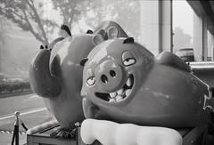 Lazy pigs (Thanathip Moolvong) Tags: epson v800 yashica 35 mc kentmere 400 bw film pig sleepy