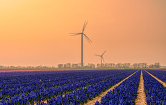 Blue Earth. (Alex-de-Haas) Tags: 1635mm d500 dutch europa europe holland nederland nederlands netherlands nikkor nikkor1635mm nikon nikond500 noordholland agriculture akkerbouw beautiful beauty bloemen bloemenvelden boerenland bollenvelden bulbfields carbonneutral electricity elektriciteit energie energy farmland farming flowerfields flowers groenestroom hyacint hyacinten hyacinth hyacinths landbouw landscape landscapephotography landschaft landschap landschapsfotografie lente lucht mooi polder pracht renewable renewableenergy renewables schoonheid skies sky spring sundown sunset wind windenergy windfarm windpark windpower windturbine windenergie windmolen windmolenpark zonsondergang burgerbrug northholland
