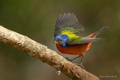 Let me dance for you.. (Earl Reinink) Tags: bird bunting paintedbunting songbird earlreinink roidtuodea