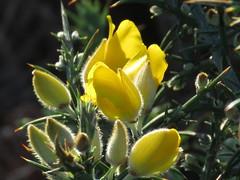 IMG_4715 (jesust793) Tags: flores amarillo flowers yellow naturaleza nature