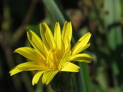 IMG_4743 (jesust793) Tags: flores amarillo flowers yellow naturaleza nature