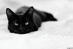 no one adopted him...so we kept him:) meet Ares! (George Spanoudakiss) Tags: fujifilm fuji fujixt2 fujix fujilove fujixpassion fujixseries fujiholic fujiphotos fujimadness fujinon fujilover fujifilmhellas fujicamera xt2 56mm acros monochrome blackandwhite cat cats pet animal furry love