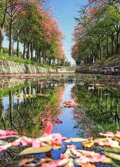 Reflection~倒影~雲林 ~美人樹 (Estrella Chuang 心星) Tags: reflection 倒影 雲林 美人樹 美人花 flowers 心星 estrella