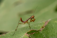 Cría de mamboretá (Ucachabio) Tags: d7100 nikkor18dx 18dx nikon nikond7100 insectos insects closeup macrophotography macro sierrasdecórdoba