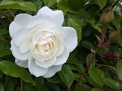 San Francisco, CA, Noe Valley, White Rose with Buds (Mary Warren 14.6+ Million Views) Tags: sanfranciscoca noevalley nature flora plant green white bud bloom blossom flower rose