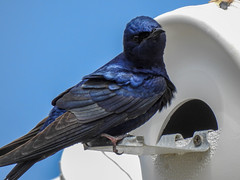 Purple Martin (Eric Dewsnap) Tags: martin purplemartin swallow plumisland bird wildlife