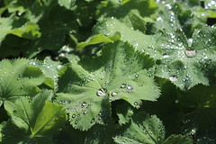 Water Droplets on Lady's Mantle Leaves, Cambridge, 29th August 2019 (8) (Phil Masters) Tags: waterdroplets ladysmantleleaves cambridge 29thaugust alchemillamollis ladysmantle foliage droplets cambridgeshire august2019 gardens