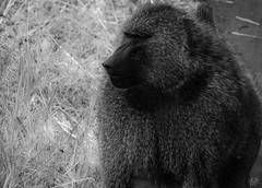 THE OLIVE BABOON (eliewolfphotography) Tags: baboon baboons primates animals african africa wildlife wildlifephotographer wildlifephotography nature naturelovers nikon naturephotography natgeo bnw bw conservation conservationphotography