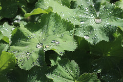 Water Droplets on Lady's Mantle Leaves, Cambridge, 29th August 2019 (7) (Phil Masters) Tags: waterdroplets ladysmantleleaves cambridge 29thaugust alchemillamollis ladysmantle foliage droplets cambridgeshire august2019 gardens