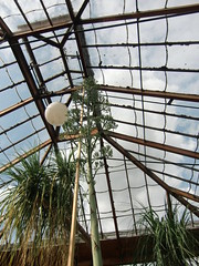 Giant Agave Reaching for the Roof, Cambridge Botanic Gardens, 12th August 2019 (Phil Masters) Tags: cambridgeshire cambridge august2019 flowers 12thaugust gardens botanicalgardens cambridgebotanicgardens cambridgebotanicalgardens foliage agave giantagave agavestem giantagavestem