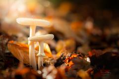 Les jumeaux (f.ray35) Tags: autumn automne light champignon macro proxi sigma105 canon forest bretagne brittany breizh bretagnetourisme breton