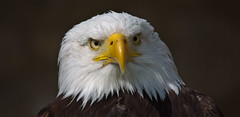 I am sure I know you! (pe_ha45) Tags: weiskopfseeadler baldeagle haliaeetusleucocephalus falknerei fauconnerie falconry pygargueàtêteblanche