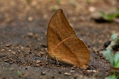 Discophora sondaica - the Common Duffer (BugsAlive) Tags: butterfly mariposa papillon farfalla 蝴蝶 dagvlinder 自然 schmetterling бабочка conbướm ผีเสื้อ animal outdoor insects insect lepidoptera macro nature nymphalidae discophorasondaica commonduffer morphinae wildlife lamnamkoknp ผีเสื้อในประเทศไทย chiangrai liveinsects thailand thailandbutterflies bugsalive ผีเสื้อไผ่ลายธรรมดา