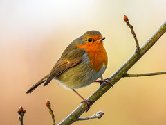 2019's Winter Robin (Pendlelives) Tags: robin winter 2019 calendar 2020 rowley lake burnley nature wildlife countryside bird birds ornithology pendle pendlelives nikon p1000 clarity vibrant vibrance background animals colours colour color feathers uk british species