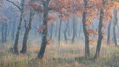 Le Chercheur d'Or (DBPhotographe) Tags: plateau mont vaucluse murs senanque abbaye termes col chesnaies chene foret brume brouillard matin automne provence luberon gordes