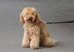 DSCN8108 (keepps) Tags: switzerland suisse schweiz winter vaud montreux animal dog