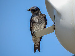 Purple Martin (Eric Dewsnap) Tags: martin swallow bird wildlife