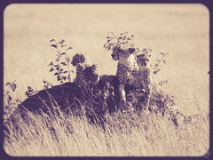 MOMMA CHEETAH AND CUBS (eliewolfphotography) Tags: conservation conservationphotography cheetah cheetahs bigcats cats feline africa animals wildlife wildlifephotographer wildlifephotography nature naturelovers nikon naturephotography natgeo naturephotographer natgeowild