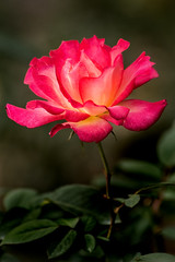 Outstanding Rose 3-0 F LR 10-12-19 J338 (sunspotimages) Tags: flower flowers rose roses multicolored multicoloredflower multicoloredrose multicoloredroses pink pinkflower pinkflowers pinkrose pinkroses red redrose redflower redflowers redroses nature