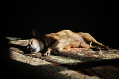 Luna napping 💤 in her sun spot... #rescuedog #rescuedogsofinstagram #nap #sunspot #chihuahua #jackrussellterrier #goodgirl #canon #eosRP #40mmpancake (vrot01) Tags: 40mmpancake chihuahua goodgirl jackrussellterrier eosrp rescuedog rescuedogsofinstagram sunspot nap canon