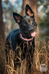 Picture of the Day (Keshet Kennels & Rescue) Tags: fall autumn adoption dog dogs canine ottawa ontario canada keshet breed animal animals kennel rescue pet pets nature photography gsd german shepherd head tilt long grass huh