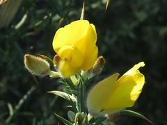IMG_4713 (jesust793) Tags: flores amarillo flowers yellow naturaleza nature