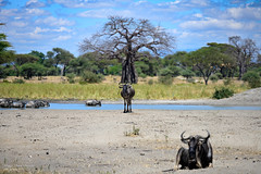 Wildebeests and baobab in Tarangire (marcomariamarcolini) Tags: marcomariamarcolini tanzania tarangire gnu baobab nature color africa wildlife wildebeest