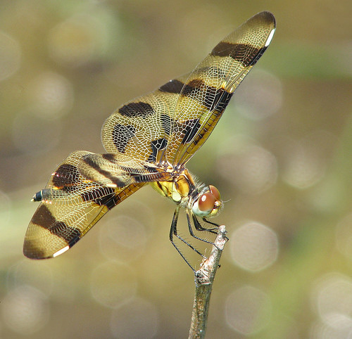 2nd Day of Christmas Dragonflies:  lady Halloween