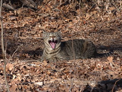 Hallelujah, Hallelujah (country lovers) Tags: cat tabbycat singing yawning nature outdoors oklahoma feline animalphotography magickcoyote