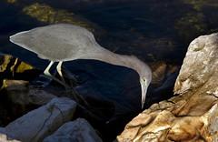 Little Blue Heron (florida caerulea caerulea) (klauslang99) Tags: klauslang florida animal little blue heron caerulea